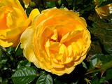 absolutely fabulous rose